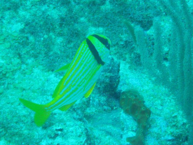 Porkfish (Anisotremus virginicus) Picture