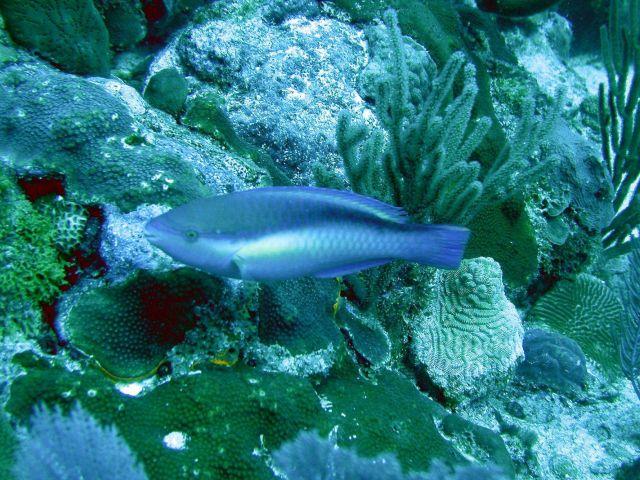 Princess parrotfish (Scarus taeniopterus) Picture