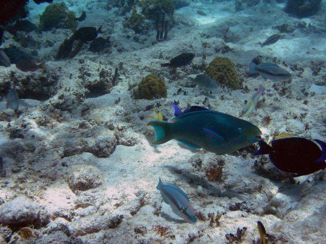 Queen parrotfish (Scarus vetula) Picture