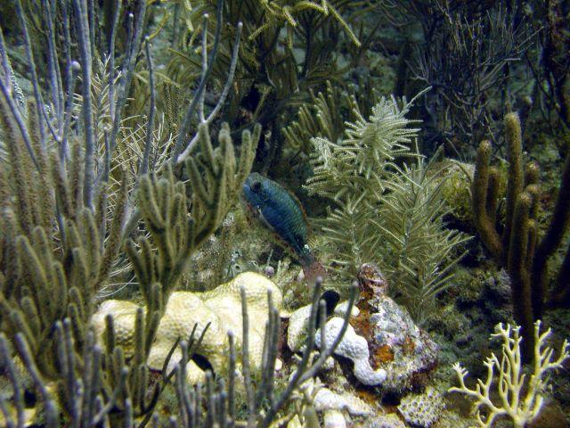 Redband parrotfish (Sparisoma aurofrenatum) Picture