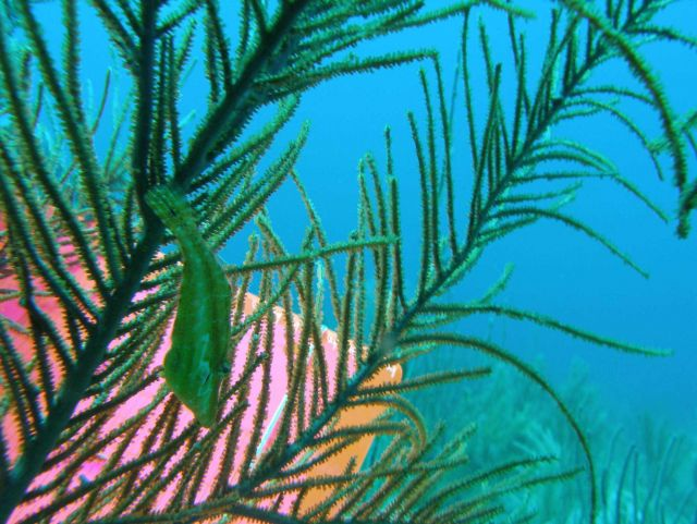 Slender filefish (Monacanthus tuckeri) Picture