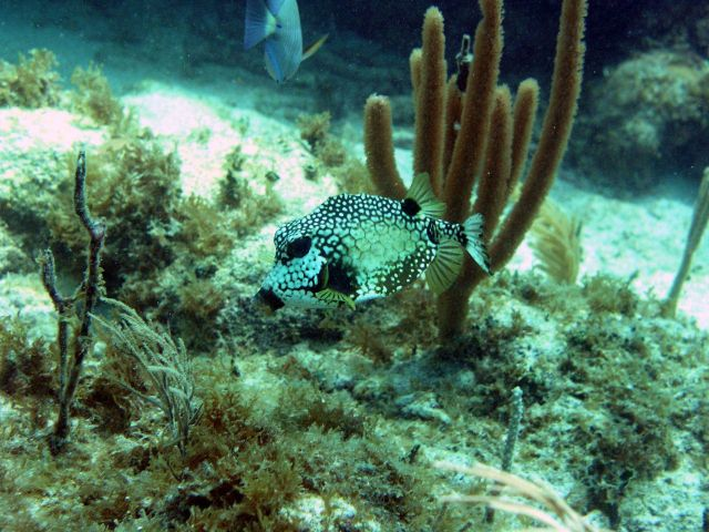 Smooth trunkfish (Lactophrys triqueter) Picture