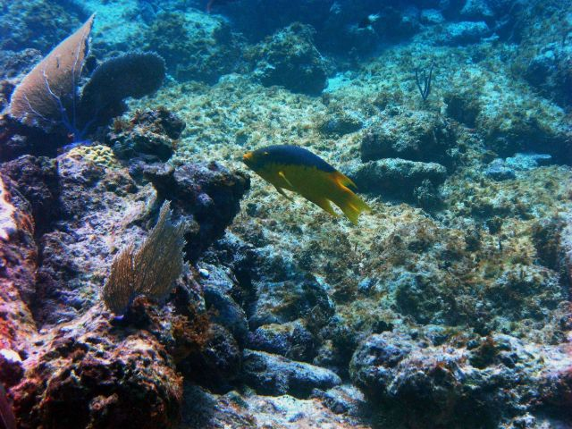 Spanish hogfish (Bodianus rufus) Picture