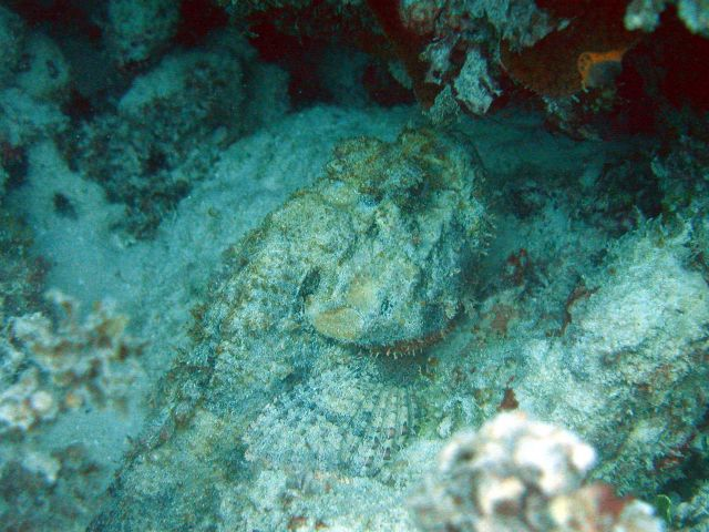 Spotted scorpionfish(Scorpaena plumieri) Picture