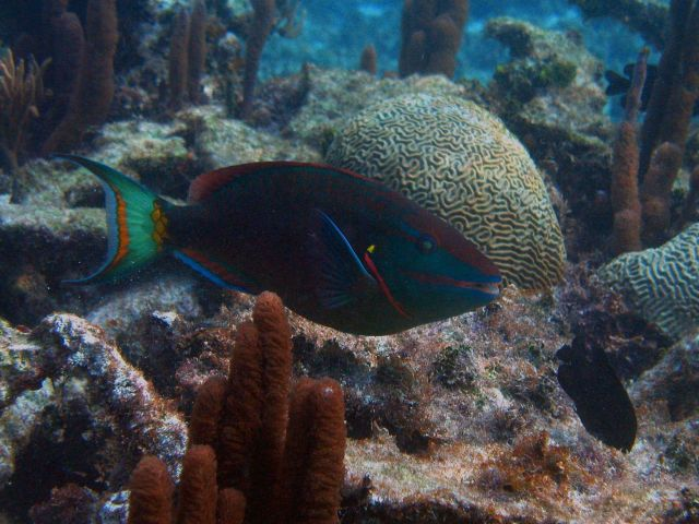 Stoplight parrotfish (Sparisoma viride) Picture
