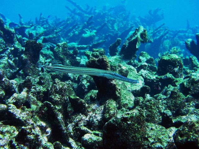 Trumpetfish (Aulostomus maculatus) Picture