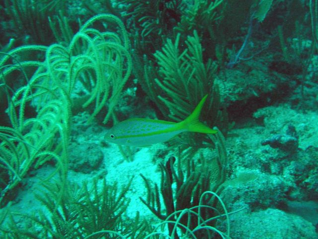 Yellowtail snapper (Ocyurus chrysurus) Picture