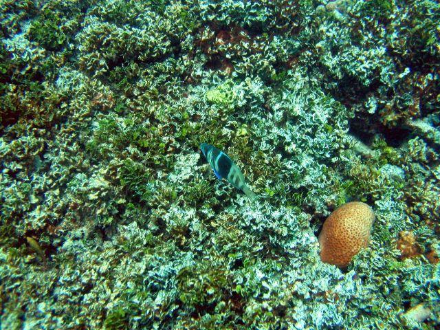 Barred hamlet (Hypoplectrus puella) Picture