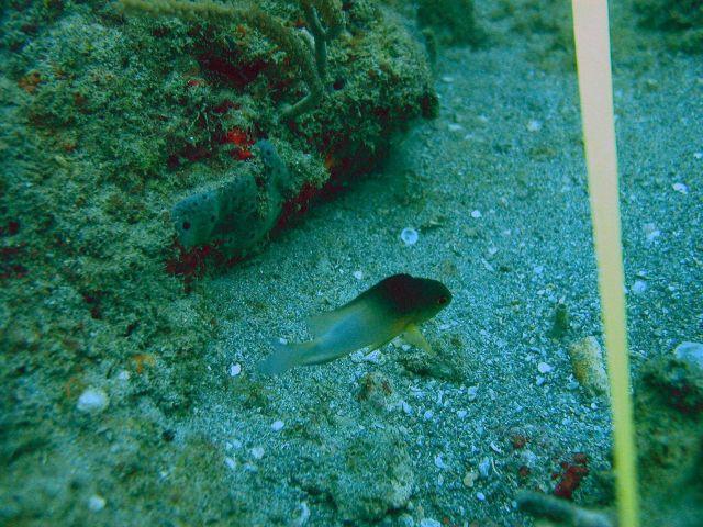 Bicolor damselfish (Stegastes partitus) Picture