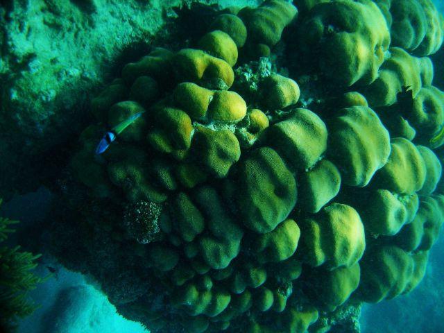 Bluehead (Thalassoma bifasciatum) Picture