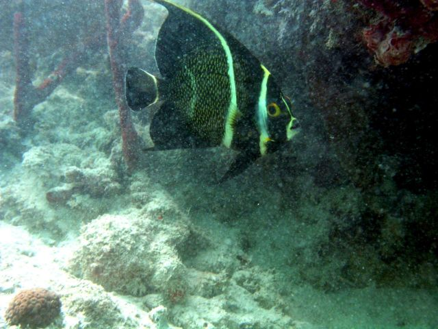 French angelfish (Pomacanthus paru) Picture