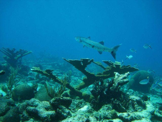 Great barracuda (Sphyraena barracuda) Picture