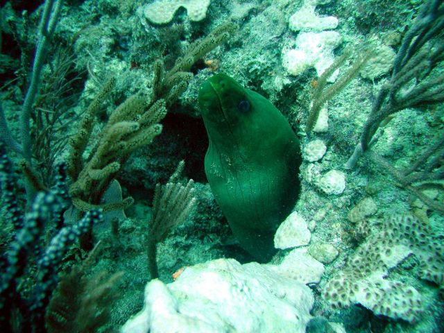 Green moray (Gymnothorax funebris) Picture