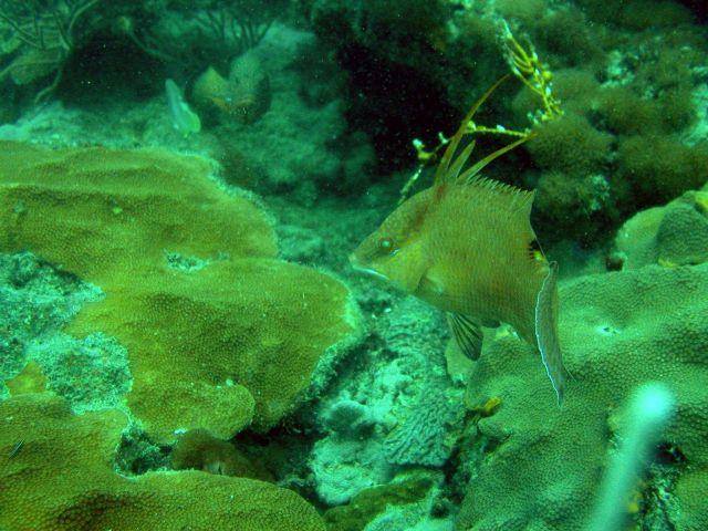 Hogfish (Lachnolaimus maximus) Picture