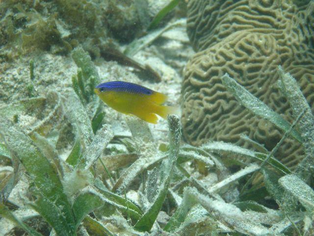 Longfin damselfish (Stegastes diencaeus) Picture
