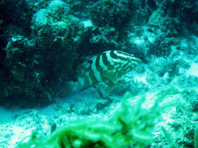 Nassau grouper (Epinephelus striatus) Picture