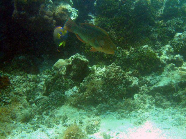 Rainbow parrotfish (Scarus guacamaia) Picture