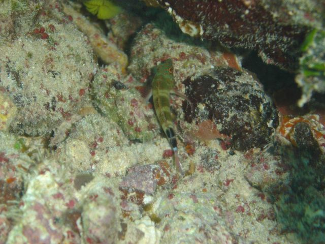 Redspotted hawkfish (Amblycirrhitus pinos) Picture