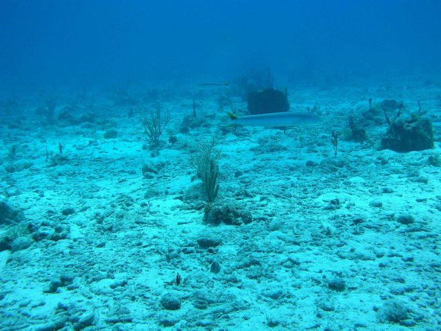 Sand tilefish (Malacanthus plumieri) Picture