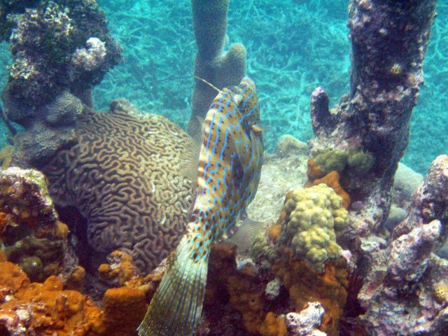 Scrawled filefish (Aluterus scriptus) Picture