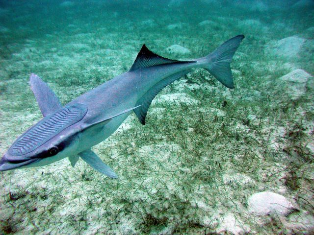 Sharksucker (Echeneis naucrates) Picture