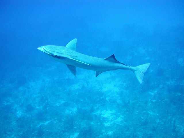 Sharksucker (Echeneis naucrates) Picture