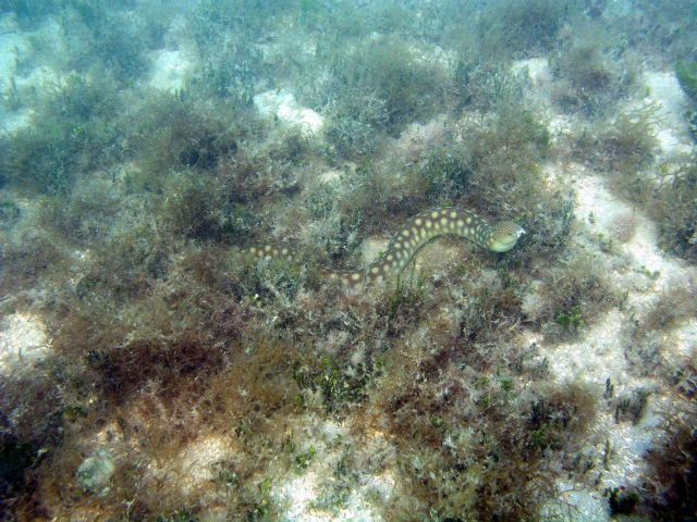 Sharptail eel (Myrichthys breviceps) Picture