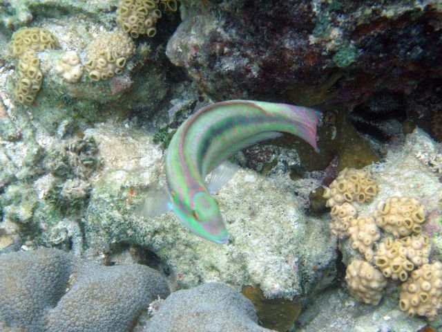 Slippery dick (Halichoeres bivittatus) Picture