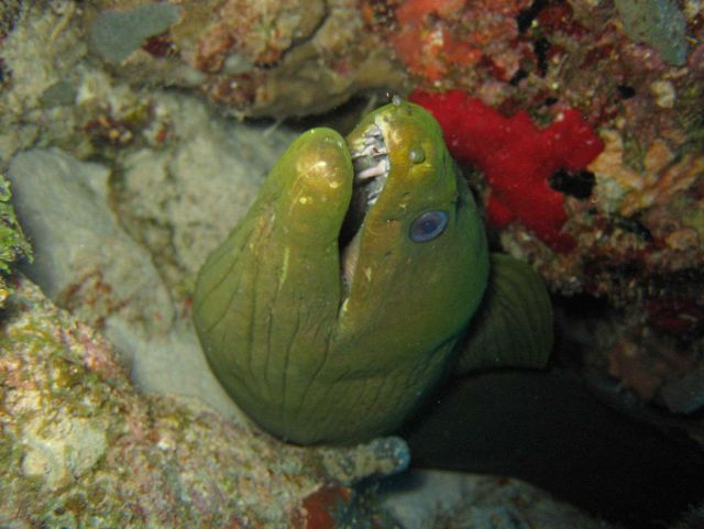 Moray eel peering out from its coral home. Picture