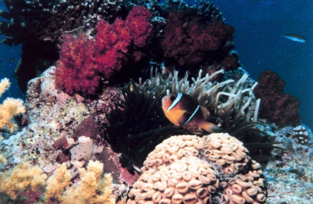 Two-banded clown fish (Amphiprion bicinctus) Picture