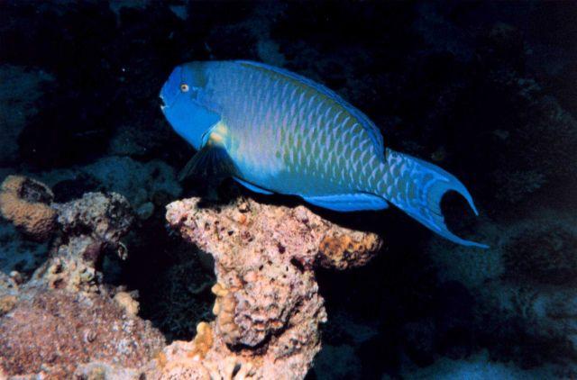 Gibbus parrotfish (Scarus gibbus) Picture