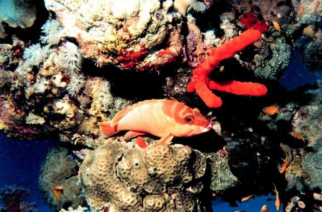 Blacktip grouper (Epinephelus fasciatus) Picture