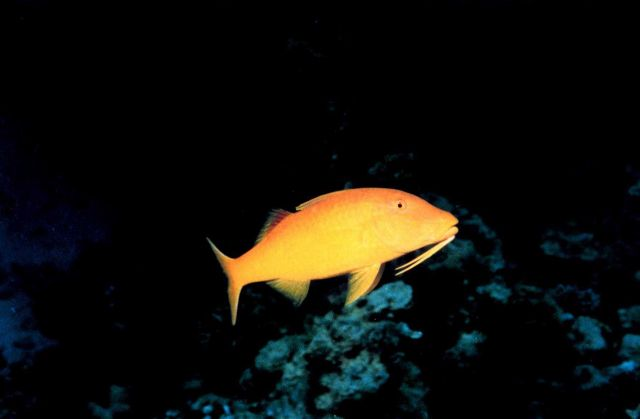 Goldsaddle goatfish (Parupeneus cyclostomos) Picture