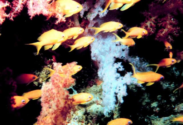 School of yellow fish in forest of soft coral Picture