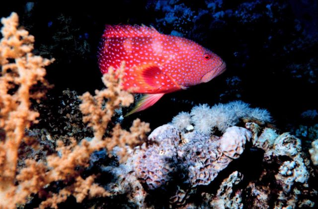 Miniatus grouper - Cephalopholis miniatus Picture