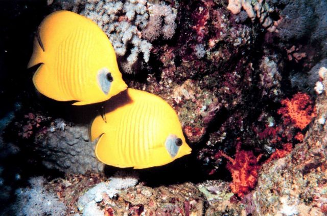 Masked or blue cheek butterfly fish (Chaetodon semilarvatus) Picture