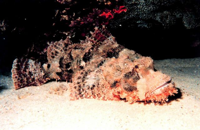 Stonefish (Synanceia verrucosa) perhaps the most venomous fish Picture