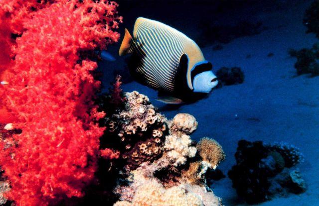 Emperor angelfish (Pomacanthus imperator) Picture