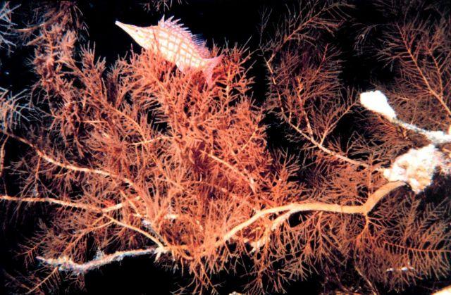 Longnose hawkfish (Oxycirrhites typus) Picture