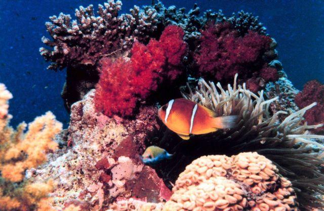 Red Sea anemone fish (Amphiprion bicinctus) Picture