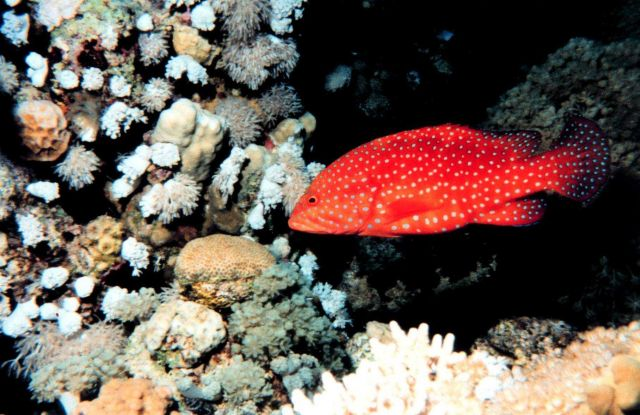 Miniatus grouper (Cephalopholis miniatus) Picture