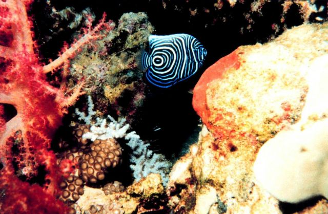 Juvenile emperor angelfish (Pomacanthus imperator) Picture