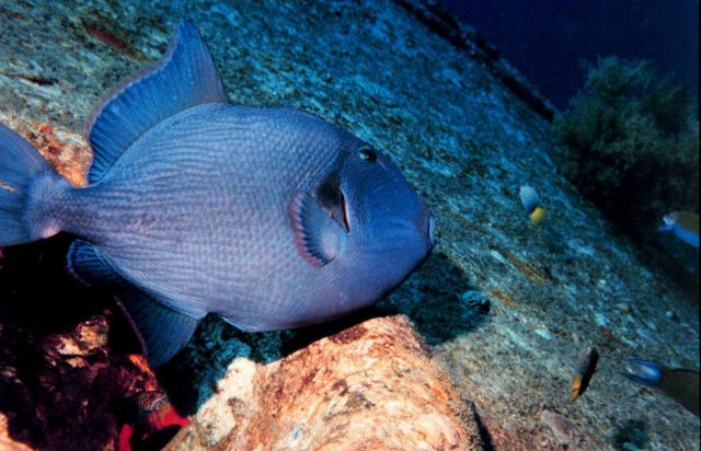 Blue triggerfish (Odonus niger) Picture
