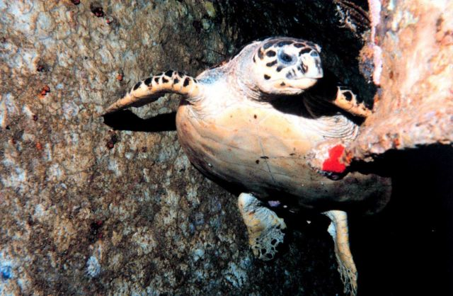 Hawksbill sea turtle (Eretmochelys imbricata) Picture