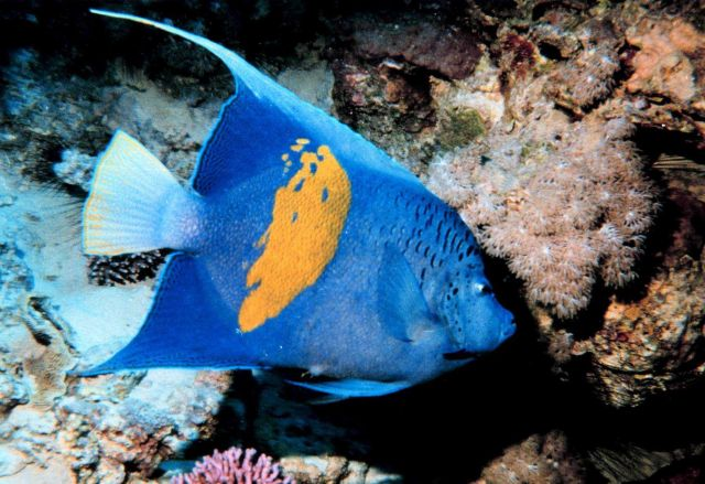 Yellow bar angelfish (Pomacanthus maculosus) Picture