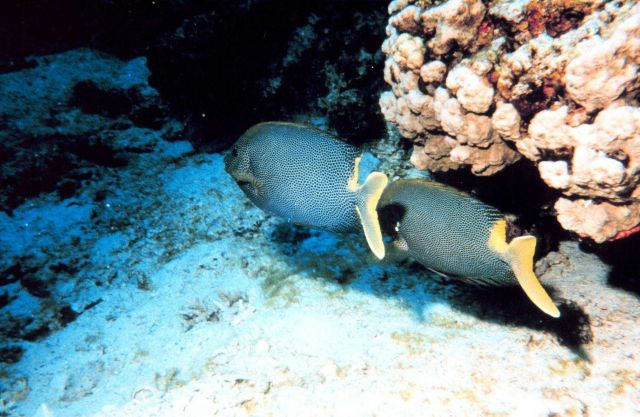 Yellowtailed surgeonfish? Picture