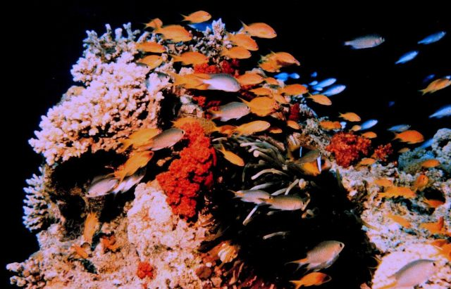A melange of fish including orangeanthias (Pseudanthias squamipinnis) also known as lyretail. Picture