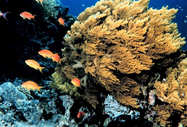 Orange Anthias (Pseudanthias squamipinnis) also known as lyretail in high energy current area as gold soft coral appears to be swaying in the current. Picture