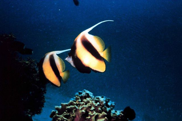 Bannerfish (Heniochus intermedius) Picture
