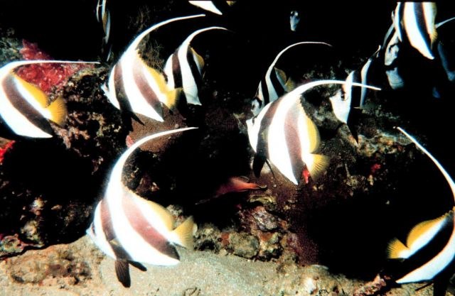 Bannerfish (Heniochus acuminatus) Picture